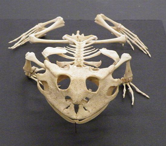Скелет земноводного