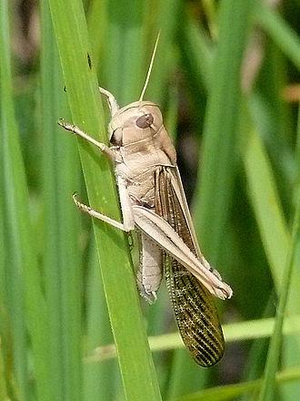 Тип развития прямокрылых насекомых