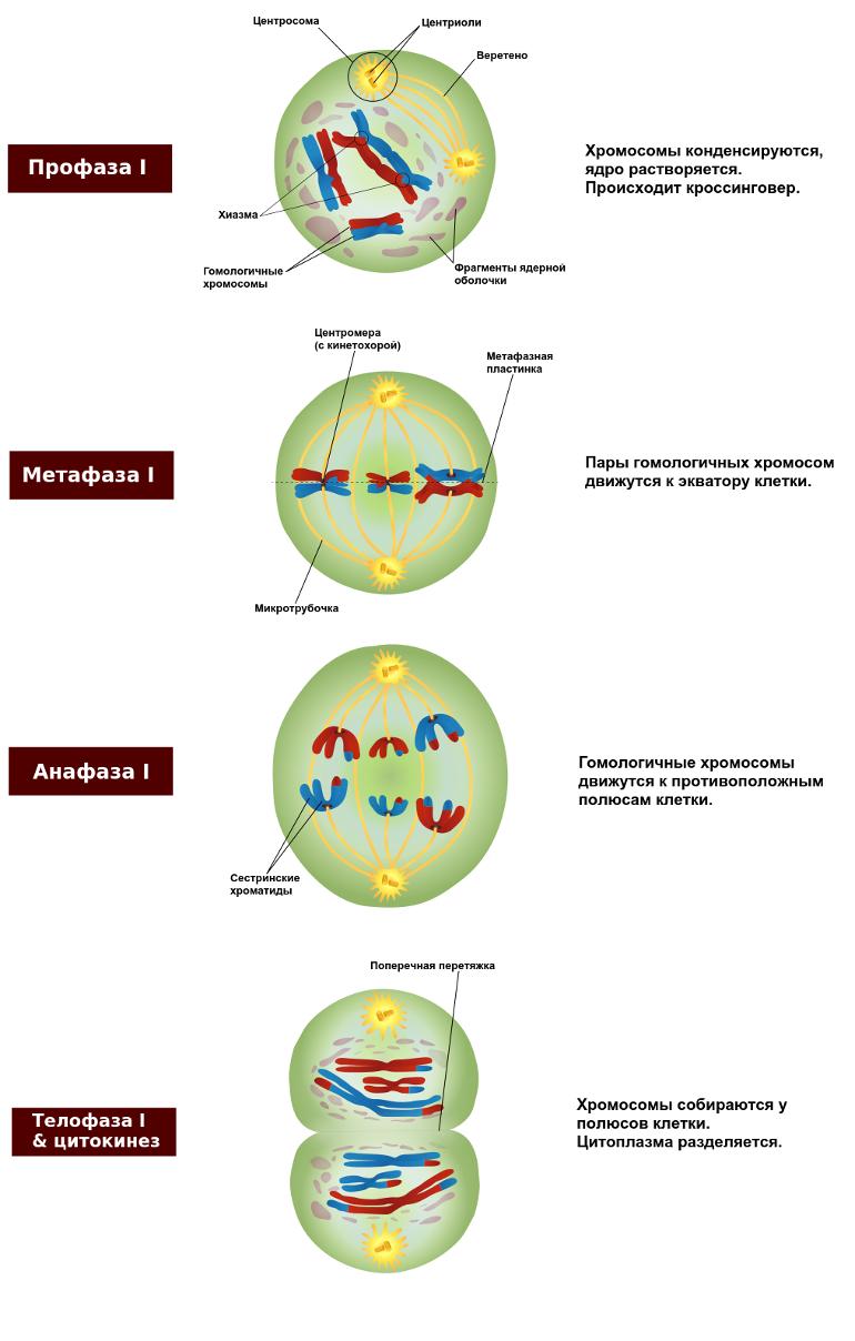 Стадии мейоза I: профаза, метафаза, анафаза, телофаза