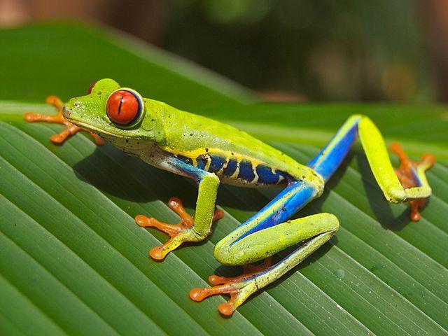 Представитель земноводных - красноглазая древесная лягушка