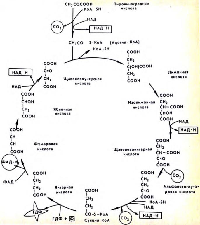 Какова роль ферментативного конвейера цикла кребса 10 класс как работает мостовой конвейер в mindustry